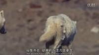 英语趣视频冰雪消融北极狼北极兔之间的较量开始