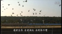 2012年 赛鸽致胜传说 实战精华版 第 1 集