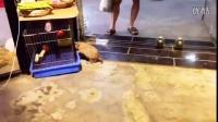 网红鼠来啦~这是一只黑尾土拨鼠~圆嘟嘟的屁股,好像捏啊哈哈。喜欢咬鞋子,觉得你鞋子好吃就会追着你跑哈