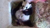#2016 神魔大战# 报道集锦- 维也纳喜迎双胞胎熊猫幼仔
