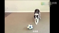 萌宠:本汪足球玩的好吧,给块骨头呗