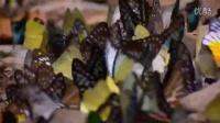 蝴蝶谷_Tropical Butterflies at a mineral lick in Kaeng Krachan NP, Thailand._(360p)