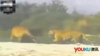 实拍两老虎攻击一只黑熊 黑熊站起反攻结果…