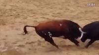 致命冲撞!西班牙两斗牛头部高速对撞 瞬间倒地死去