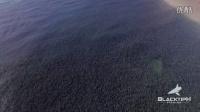 (佛罗里达梭鱼群无人机拍摄震撼视频)Epic Drone Footage of the Florida Mullet Run