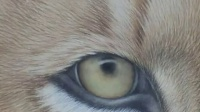 画虎、工笔虎、画虎技法、视频、刘晓军中国工笔动物画技法  雄狮第四步画睛勾须完成