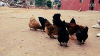 宝宝与鸡鸡有趣互动