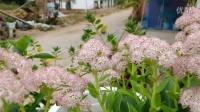 蜜蜂,苍蝇   飞在花丛中玩乐互动