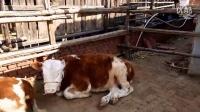 西门塔尔牛养殖场 鲁西黄牛 东北肉牛繁育基地