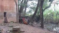 斗鸡:中国纯老黑红客场PK农家的紫红王和黎川紫。