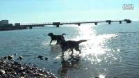 拉布拉多犬和哈士奇,大跑起来还是蛮爽的