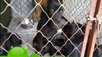 介休市卡斯罗哪里有卖的,卡斯罗幼犬多少钱一只