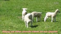 奥克兰农场公园 四只小羊羔