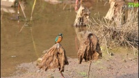 鸟类视频《枯荷翠鸟》野生鸟视频