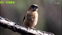 鸟类视频《叫声很小的白腰文鸟》野生鸟视频