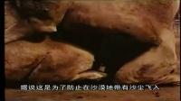 单峰骆驼的繁衍后代方式有可能导致其灭绝,因此需人为辅助