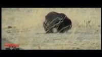 世界霸主蜜獾遇上地痞流氓鬣狗,强强相遇,谁更厉害