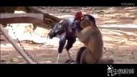 公鸡脾气暴躁火拼猴子 猴哥只能原地求饶