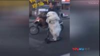 实拍宠物狗自驾滑板车拉风上街 骑车大妈看傻眼
