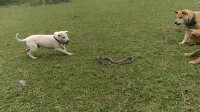 广西土猎之蛇狗苗子