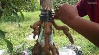 大树快速繁殖方法:高压根接