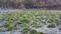 月牙湖风光-古筝出水莲