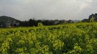 【小莫】家乡风景  盛开的油菜花 美的难以置信!