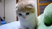 折耳猫才是世间的萌物
