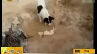 年度最催泪视频:小狗埋葬死去同伴[第一时间]