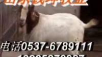 河南波尔山羊养殖场肉羊养殖技术视频