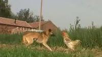 斗鸡舞 音乐 鸡狗大战,最牛公鸡单挑大黄狗
