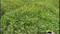 中国茶文化 02.神农尝百草—关于茶的起源