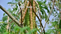 正宗印度进口辣木籽降三高排毒养颜