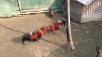 斗鸡:矮虎PK坏小小