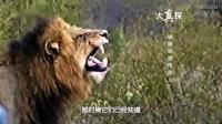 六雄狮展开一场大屠杀,所到之处雄狮及小狮子无一幸免