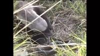 实拍蜜獾捕猎毒蛇, 先把蛇从洞里赶出, 然后逮住精彩一幕
