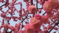 明城墙遗址公园第十届梅花节掠影