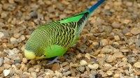 1113虎皮鹦鹉 小鸟觅食 鹦鹉 宠物 动物  莎丽 绿色 可爱