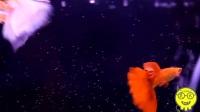 热带鱼:超美红白和红蓝孔雀鱼混养