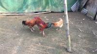 斗鸡:卷毛黄PK子虎(封眼还血拼 超强嫩鸡)