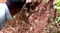 农村高手,路边石缝里挖出一条毒蛇,没想到洞里还有一窝蛇蛋