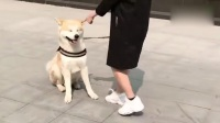 女孩子养秋田需谨慎.flv