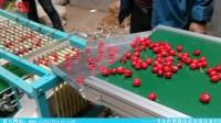 沧州泰信选果轨道式分级机搭配前置流水作业平台-山东烟台樱桃分级现场使用演示视频