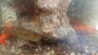 水草鱼缸 鱼缸 金鱼 草缸  养鱼  养金鱼,