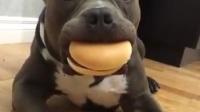 5-3期每日一狗:爆笑狗狗想吃汉堡都快想疯了,看它留的哈喇子你就知道它有多想了