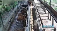 被牛踢了一脚 养殖场工人竟用绳子将牛勒死