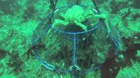 高清摄像机实拍地笼水下抓螃蟹实况