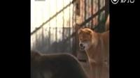 一只要征服韩国动物园的中华田园犬,这霸气侧漏啊,简直是狗生巅峰!