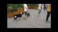 两只狗的玩耍故事