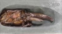 铁甲虫的进化过程,胆小的朋友慎点!